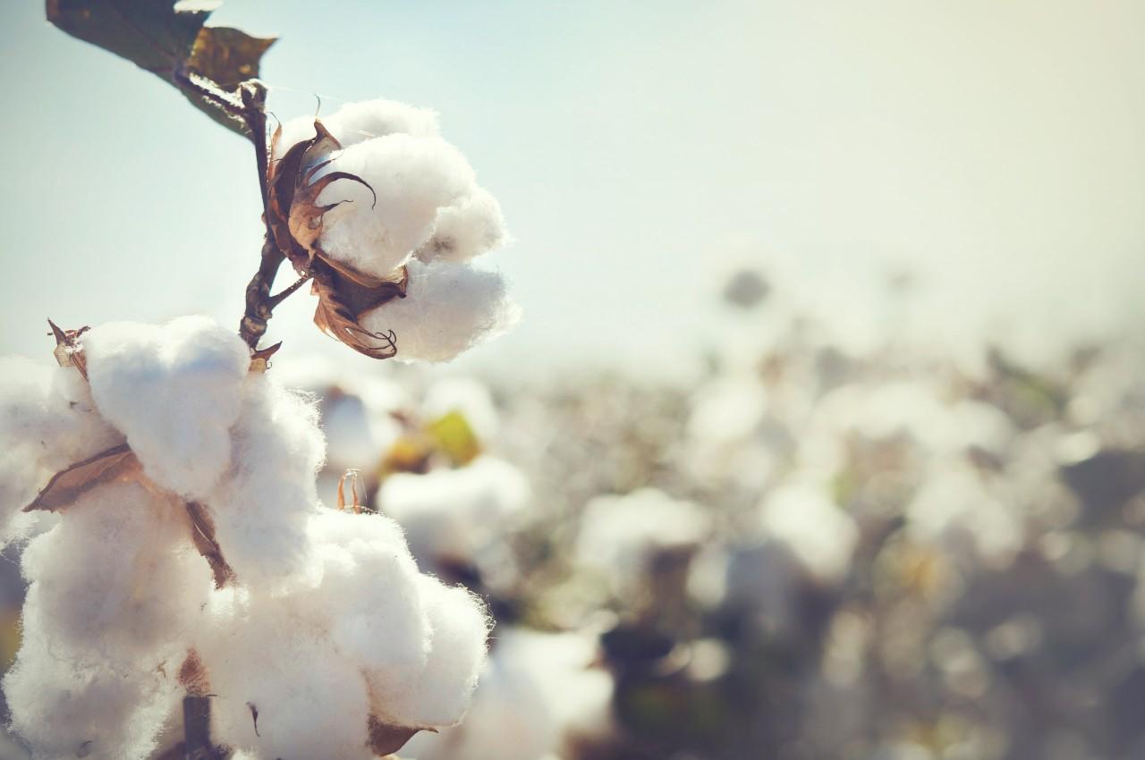 media/image/cotton.jpg